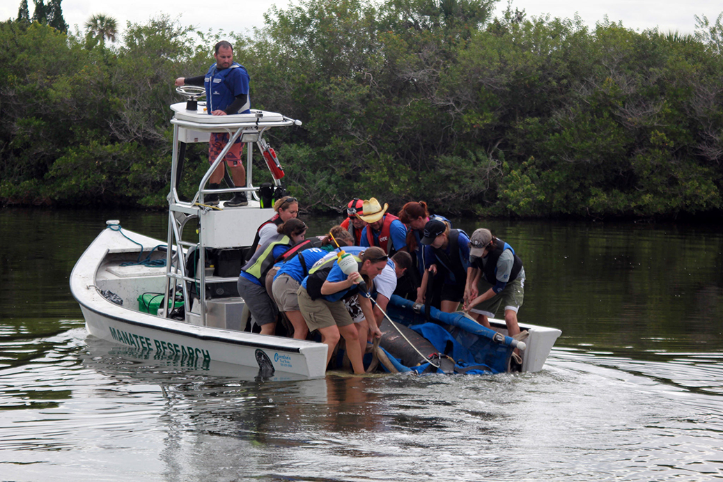 researchers pulling manatee onto boat